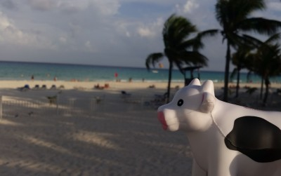 Denver Roofing - Cow on Beach